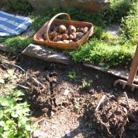 Preparing Potatoes for the Root Cellar