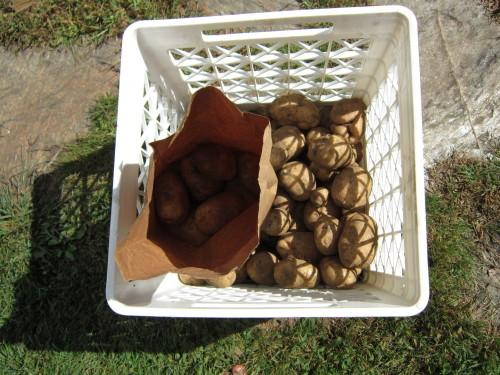 potatoes 015