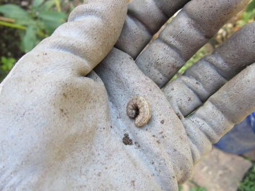mache, winter squash, cutworm 035